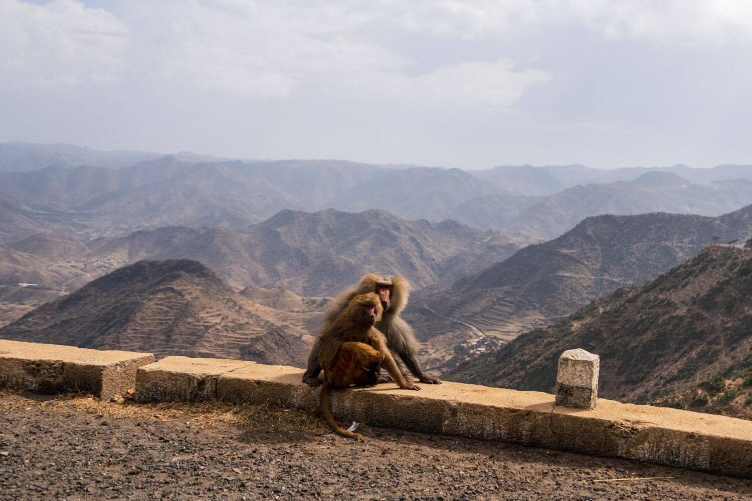 Monkey on the way to Massawa